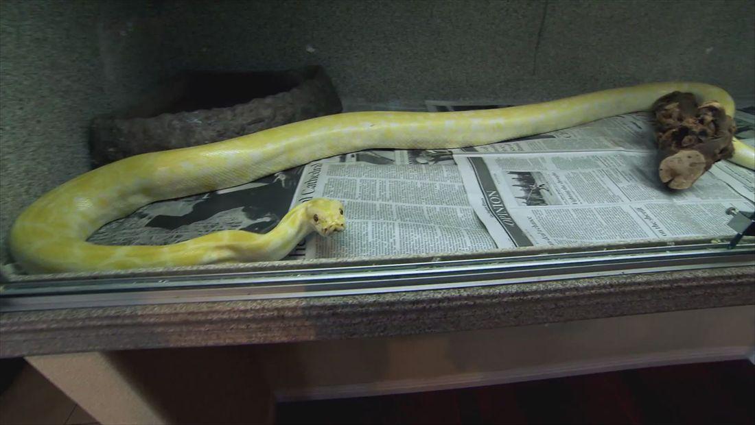 BGC Back for More: Snake Charmer